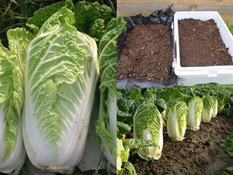 Ngày cuối tuần rảnh rỗi, lấy vài thùng xốp bỏ đi trồng cải thảo theo cách này, quanh năm có rau sạch ăn không hết