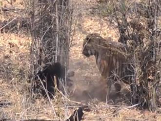 Nghẹt thở cảnh hổ vằn quyết chiến gấu đen để giành địa bàn và cái kết không thể tin được