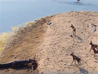 Nghẹt thở cảnh 'sát thủ đầm lầy' lao thẳng lên bờ cướp con mồi của bầy chó hoang