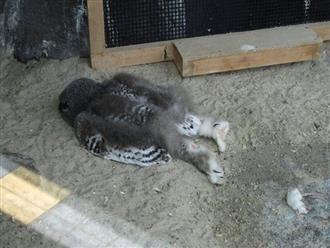 Sự thật hài hước sau tấm ảnh cú ngủ úp mặt xuống đất gây xôn xao Twitter
