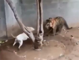 Thấy hổ bị xích, chó nhà bày trò trêu chọc và cái kết thê thảm