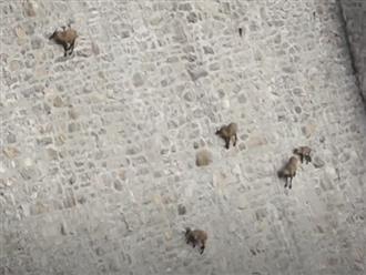 Thót tim cảnh đàn dê liều mình leo lên vách đá dựng đứng để tìm thức ăn, sơ sẩy một chút là rơi xuống dưới