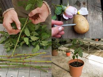 Tuyệt chiêu trồng hoa hồng bằng khoai tây lên hoa rực rỡ