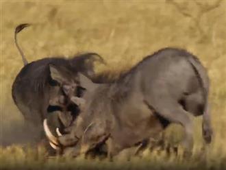 Vướng tình tay ba, 2 con lợn rừng đực quyết chiến đến cùng để giành con cái, tung đủ tuyệt chiêu 'võ lâm'
