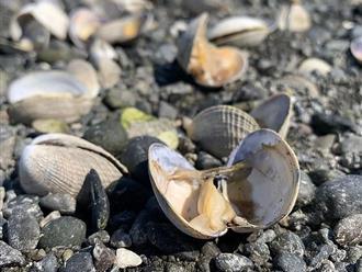 """Cận cảnh các """"ngôi mộ"""" cá, ngao và trai chết hàng loạt do nắng nóng ở Mỹ"""