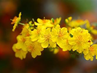 Hướng dẫn cách chăm sóc hoa mai nở đúng dịp tết