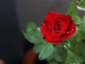 Valentine tặng hoa gì cho người yêu và bạn gái?
