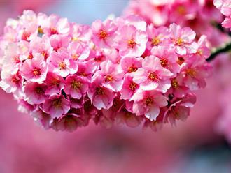 Tìm hiểu nguồn gốc, ý nghĩa của hoa mai và hoa đào trong ngày tết