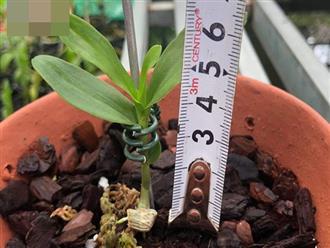 """5 triệu đồng mua được 1 centimet, loại cây này có gì đặc biệt mà gây """"sốt"""" làng cây cảnh?"""