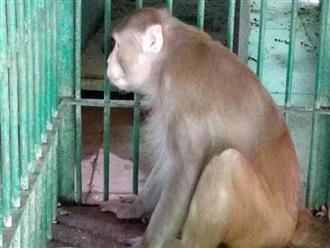 Ấn Độ: Khỉ nát rượu khiến 1 người chết, 250 người bị thương
