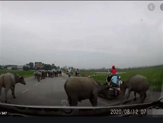 Đang lái xe trên đường làng, cặp đôi gặp sự cố khó tin vì đàn trâu ngổ ngáo, cái kết bất ngờ cho đôi trẻ
