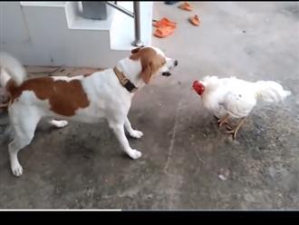 Quyết đấu với gà trống, chú chó bị rượt đánh 'không trượt phát nào', kết quả sau 1 phút khiến dân mạng cười ngất