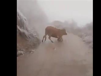 Xót xa cảnh chú bò liên tục té ngã trên đường giữa trời băng tuyết lạnh giá ở Lào Cai