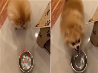Bị chủ ép ăn kiêng dù không béo, chú chó nổi quạu và cái kết khiến dân tình cười té ghế