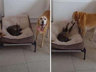 Bị 'Hoàng thượng' chiếm mất giường, cô chó bất lực bày trò 'nhõng nhẽo' cầu cứu và cái kết khiến người xem cười bò