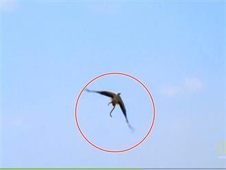 Bị đại bàng bắt được, rắn cạp nia quyết 'tự tử' trước khi bị xé thịt và cái kết kết bất ngờ