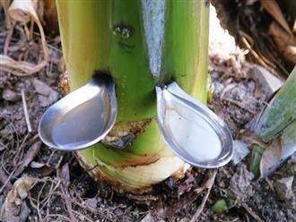 Đâm 2 cái muỗng vào thân cây chuối, sáng hôm sau nam thanh niên kinh ngạc với hiện tượng kỳ lạ