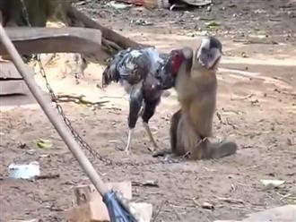 Bị con khỉ 'tinh quái' lao vào tấn công khi đang đứng kiếm ăn, gà trống vùng lên và kết quả không tưởng chỉ sau 2 phút