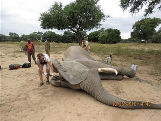 Kiểm tra lỗ thủng kỳ lạ trên đầu chú voi, bác sỹ thú y phát hiện sự thật đau buồn nhưng cũng bất ngờ vì cách hành xử của con vật