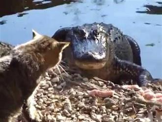Clip mèo nhỏ tát lia lịa vào mặt cá sấu khiến nó chạy 'bán sống bán chết', xem đoạn kết mới bất ngờ