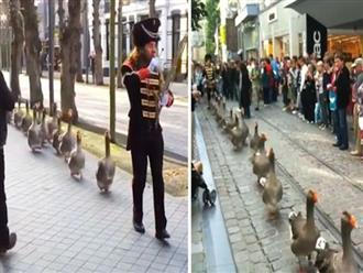 Lạ lùng cảnh đàn ngỗng xếp hàng dài 'diễu hành' trên phố, lại còn 'nhắc nhau' bước đều tăm tắp