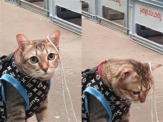 """Sợi dây vướng vào tai, chú mèo như bị """"điểm huyệt"""" ngồi ngoan cả buổi với khuôn mặt đáng thương mong có người giải thoát"""