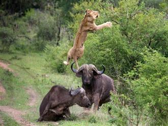 Thấy đồng loại bị tấn công dã man, trâu rừng nổi điên lao tới húc văng sư tử lên trời trả thù