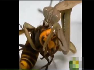 Trận chiến có '1-0-2' giữa ong bắp cày và bọ ngựa, gay cấn đến phút chót và cái kết khó tin