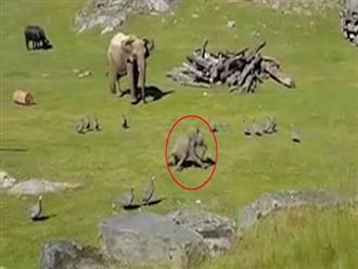 Suốt ngày 'cà khịa' linh dương và gà, voi con bị nghiệp quật không trượt phát nào