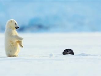 Háo hức trong lần đầu cùng mẹ học đi săn, gấu Bắc Cực con sợ đến nỗi ngã lăn quay khi gặp hải cẩu, hẳn là 'manh chiếu mới'!