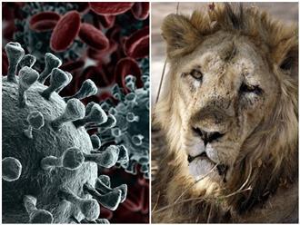 Sốc: Những con sư tử đầu tiên trên thế giới bị nhiễm COVID-19 tại tâm chấn 'đại hồng thủy' dịch bệnh Ấn Độ