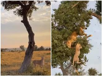 Chúa tể trèo cây tính CƯỚP TRÊN GIÀN MƯỚP miếng mồi ngon của báo hoa mai, thế nhưng cái kết cho kẻ tham ăn lại CỰC ĐẮNG