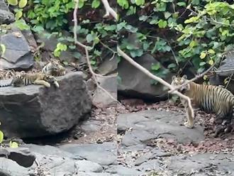 Chuyện hiếm gặp: Hổ đực chủ động chăm sóc 4 con hổ con sau khi bạn tình qua đời