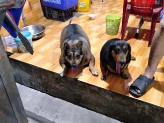 2 chú chó của gia đình bán đồ ăn chay béo rụt cổ, đi lại cũng chẳng xong, dân mạng lanh trí gọi tên AquaDog làm tấm gương học tập