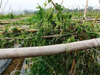 Xót xa nhìn 8 sào khổ qua đến ngày thu hoạch bị nhổ rễ, chết héo