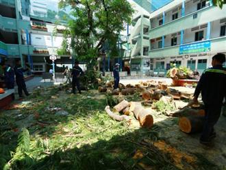 Cận cảnh gốc phượng vĩ mục ruỗng đổ gãy đè 13 học sinh thương vong ở Sài Gòn