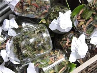 Cỏ lạ được Trung Quốc mua với giá chục triệu/kg, người dân đổ xô vào rừng tìm kiếm