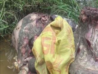 Con trâu nặng 350kg bị kẻ trộm xẻ thịt ngay cạnh nhà gia chủ