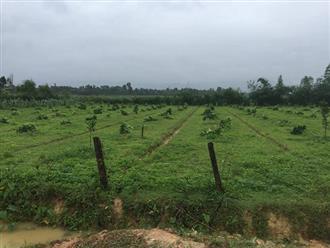 Gần 200 cây bưởi bị chặt phá trong đêm