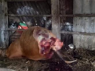 Kẻ trộm vào chuồng xẻ thịt bò mang thai, lấy 2 chân sau ở Quảng Bình