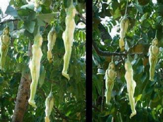 Kỳ lạ loài cây cho ra quả giống y hệt những thiếu nữ khỏa thân và lý giải của cư dân mạng khiến ai cũng phải gật gù công nhận