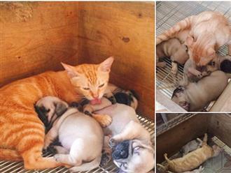 Xúc động cảnh mèo mẹ mất con lén vào cho bầy chó con bú khi chó mẹ đi chơi