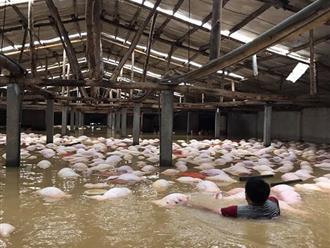 """Người chủ trang trại có 6.000 con lợn chết trong nước lũ: """"Chúng tôi bất lực nhìn bầy lợn bơi rồi đuối dần, chỉ cứu được 200 con..."""""""