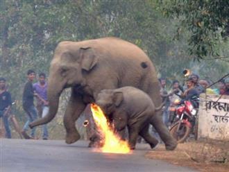 Thêm hình ảnh gây phẫn nộ tột cùng: Mẹ con nhà voi vào làng xin ăn, bị dân ném cầu lửa và đá xua đuổi không thương tiếc