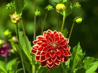 Cách trồng hoa thược dược nở đúng tết đơn giản, ai cũng làm được