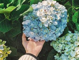 5 loại cây có hoa đẹp nhưng lại chứa đầy độc tố, đừng dại mang về trồng quanh nhà
