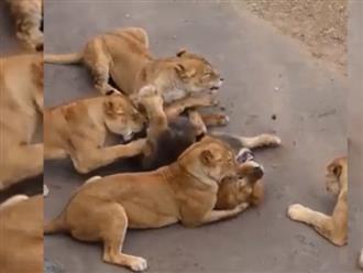 Cả gan chọc giận bầy sư tử cái, sư tử đực nhận cái kết đau đớn đến không ngờ