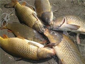 Khi bị những bệnh này đừng tốn tiền mua thuốc tây mua cá chép dùng là khỏi