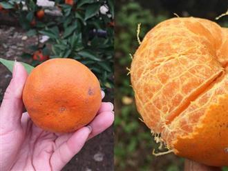 Cách phân biệt cam Canh chuẩn với cam Canh Trung Quốc