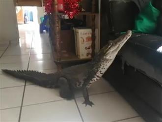 Thấy cá sấu bò vào nhà, chủ nhà không đuổi mà còn kiên nhẫn cầm điện thoại quay video và diễn biến bất ngờ sau đó
